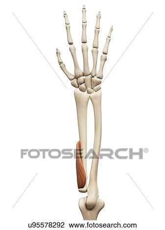 腕 筋肉 イラスト スケッチ U95578292 Fotosearch