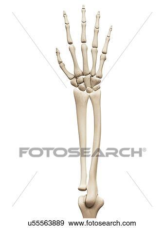 Colección de ilustraciones - brazo, y, entregue huesos, ilustración ...