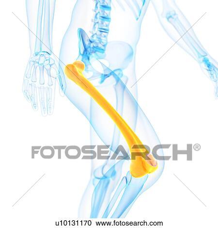 Stock Illustrations of Human thigh bone, illustration u10131170 ...