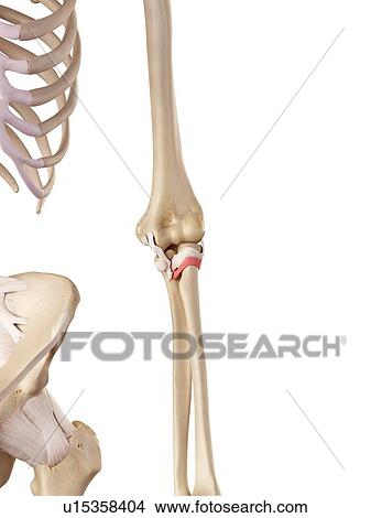 Colección de foto - codo humano, ligamentos u15358404 - Buscar fotos ...