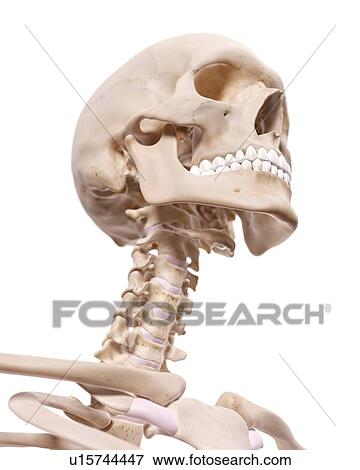 Picture of Human neck nerves u15744447 - Search Stock Photography ...