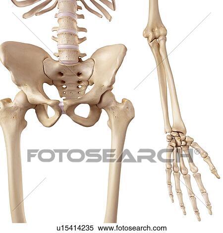 Colección de imágen - humano, cadera, huesos u15414235 - Buscar ...