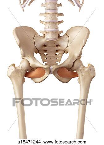 Muskeln am becken