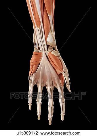 Stock Foto - menschliche hand, muskeln u15309172 - Suche ...