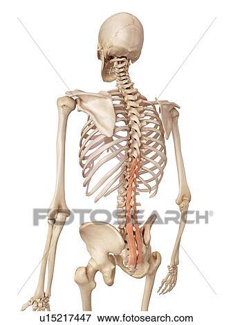 Bild - menschliche wirbelsäule, muskeln u15217447 - Suche ...