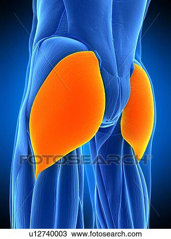Stock Photo of Buttock muscles, illustration u12740003 - Search ...