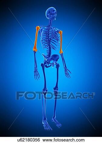 Stock Bilder - oberarmknochen, knochen, abbildung u62180356 - Suche ...