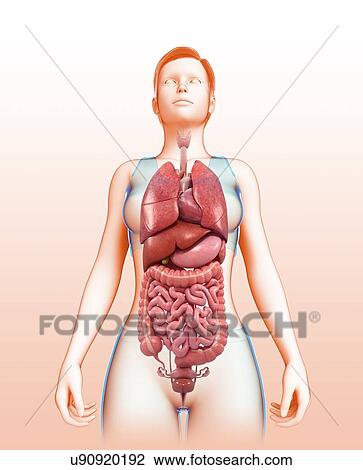 Stock Photo Of Female Body Organs Illustration U90920192 Search