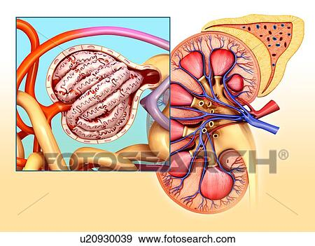 Stock Photograph of Glomerulus structure in a kidney, illustration ...