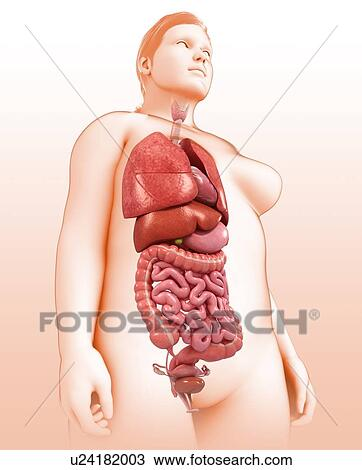 Stock Photo Of Female Body Organs Illustration U24182003 Search