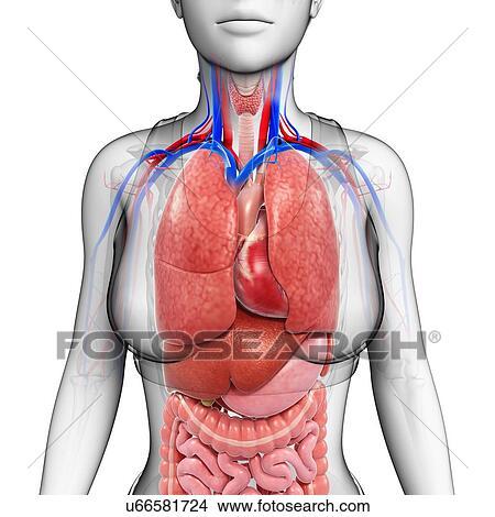 Stock Photo Of Female Body Organs Illustration U66581724 Search