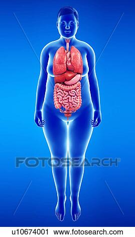 Stock Photography of Female body organs, illustration u10674001 ...