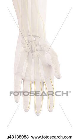 Bilder - menschliche hand, nerven, abbildung u48138088 - Suche ...