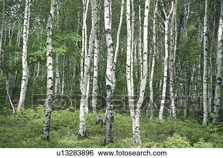 Colecci n de im genes abedul blanco troncos u13283896 buscar fotos e im genes y fotos clip - Abedul blanco ...