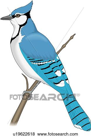 clip art of blue jay u19622618 search clipart illustration rh fotosearch com baby blue jay clipart blue jay bird clipart