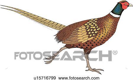clip art of pheasant u15716799 search clipart illustration rh fotosearch com pheasant clipart free clipart pheasant silhouette