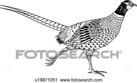clipart of pheasant u19871051 search clip art illustration murals rh fotosearch com pheasant hunting clipart flying pheasant clipart
