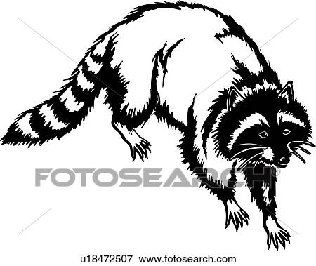 Clip Art Of Animal Coon Raccoon U18472507