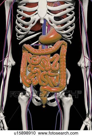 Stock Fotografie - menschlicher körper, system, koerper, skelett ...