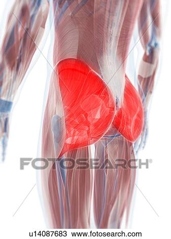 Drawing Of Gluteus Maximus Muscle Artwork U14087683 Search