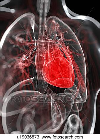 Drawing Of Heart Anatomy Artwork U19036873 Search Clipart