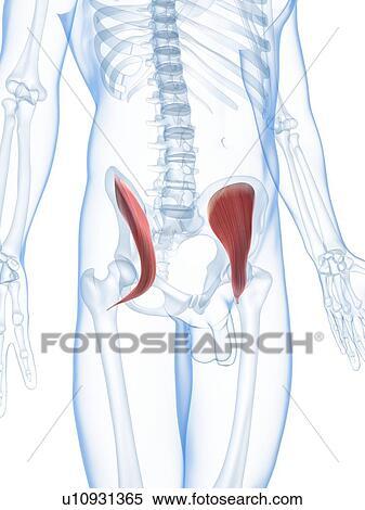 Colección de ilustraciones - cadera, músculos, ilustraciones ...