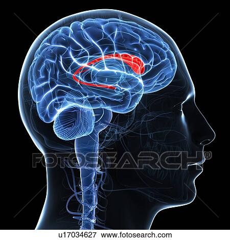 Stock Illustration of Caudate nucleus, artwork u17034627 - Search ...