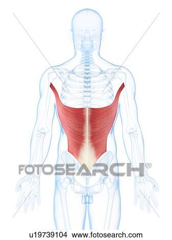 Dibujos - espalda, músculos, ilustraciones u19739104 - Buscar Clip ...