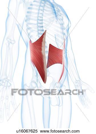 Colección de ilustraciones - músculos abdominales, ilustraciones ...