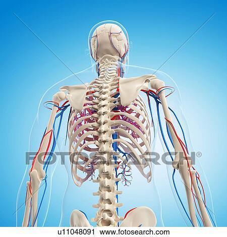 Clipart - menschliche anatomie, kunstwerk u11048091 - Suche Clip Art ...