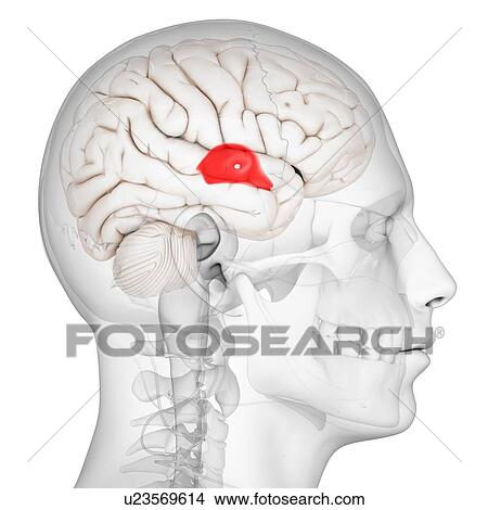 Drawings of Third ventricle, artwork u23569614 - Search Clip Art ...