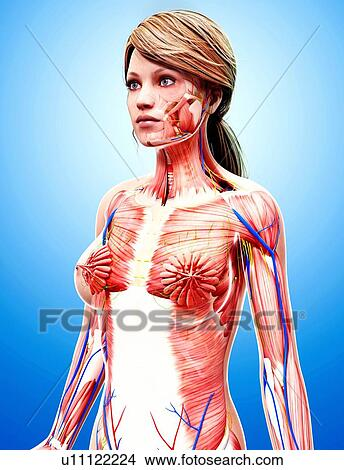 Drawings Of Female Anatomy Artwork U11122224 Search Clip Art