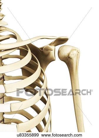 Colección de ilustraciones - hombro, huesos, ilustraciones u83355899 ...