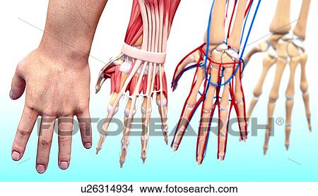 Drawings Of Human Hand Anatomy Artwork U26314934 Search Clip Art