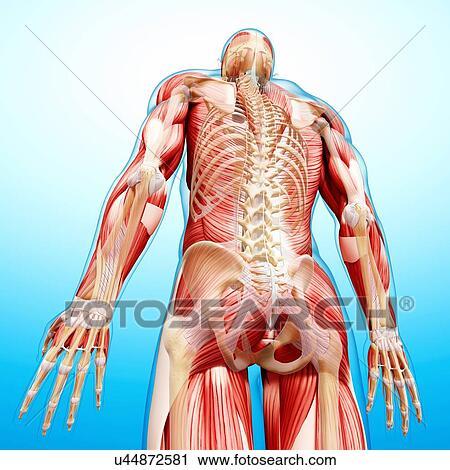 Clipart - macho, anatomía, ilustraciones u44872581 - Buscar Clip Art ...