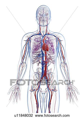 Clip Art of Male vascular system, artwork u11848032 - Search Clipart ...