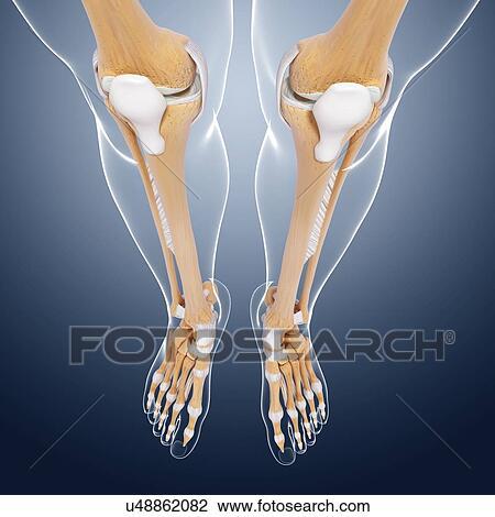 Clip Art - menschliches bein, knochen, kunstwerk u48862082 - Suche ...