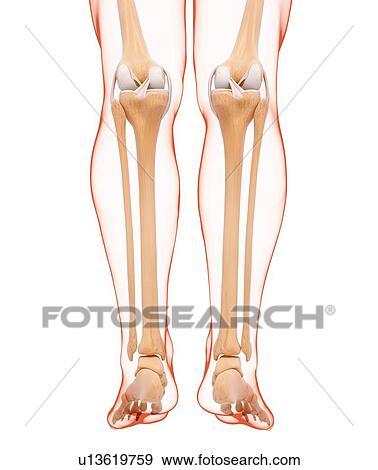 Stock Illustration - menschliches bein, knochen, kunstwerk u13619759 ...