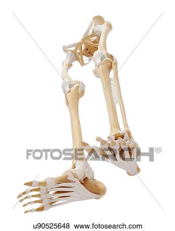 Stock Illustration - menschliches bein, knochen, kunstwerk u90525648 ...