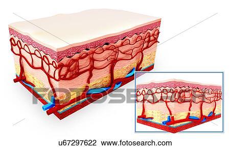 Clip Art - piel humana, anatomía, ilustraciones u67297622 - Buscar ...