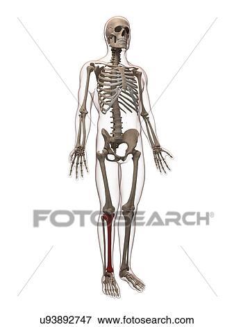 Stock Illustration of Shin bone, artwork u93892747 - Search EPS ...