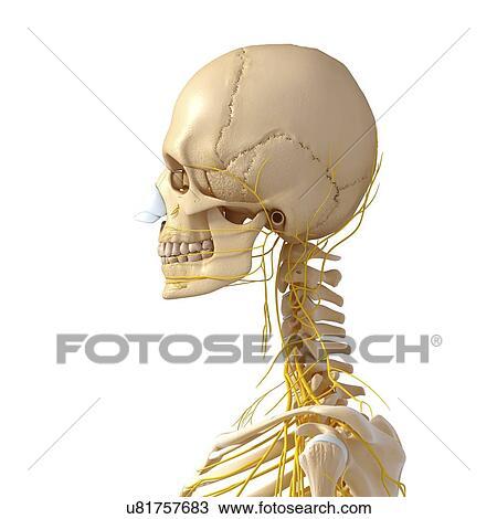 Dibujo - cabeza y, cuello, anatomía, ilustraciones u81757683 ...