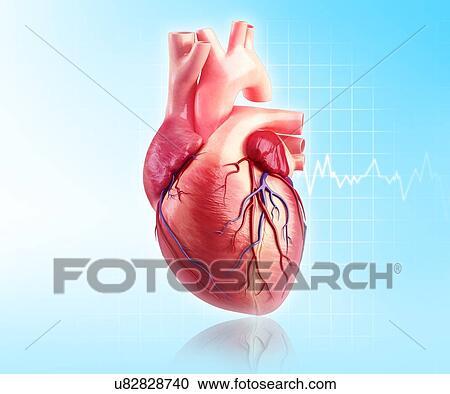 Colección de ilustraciones - corazón humano, ilustraciones u82828740 ...