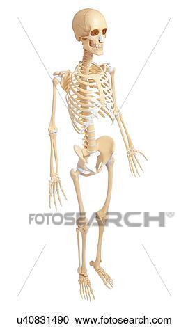 Colección de ilustraciones - esqueleto humano, anatomía, lado ...