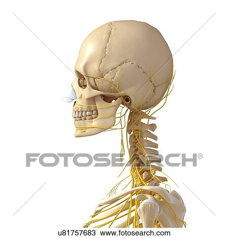 Drawing Of Head And Neck Anatomy Artwork U81757683 Search Clipart