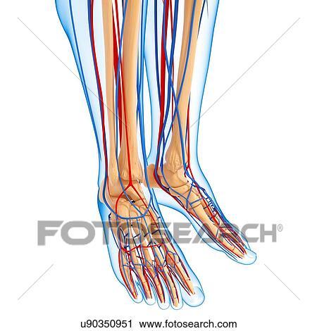 Clipart of Lower leg anatomy, artwork u90350951 - Search Clip Art ...