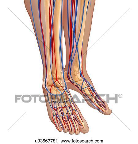 Clipart Of Lower Leg Anatomy Artwork U93567781 Search Clip Art