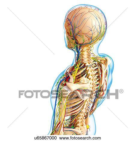 Stock Illustrationen - menschliche anatomie, kunstwerk u65867000 ...