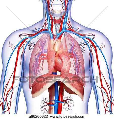 Clip Art - pecho, anatomía, ilustraciones u86260622 - Buscar Clip ...