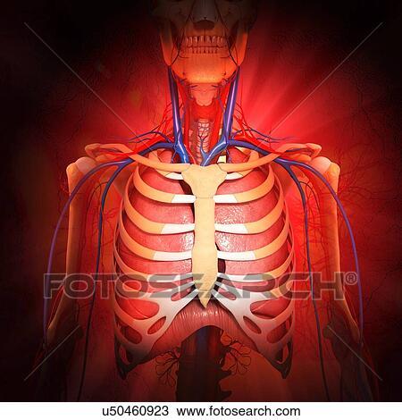 Dibujo - pecho, anatomía, ilustraciones u50460923 - Buscar Clip Art ...